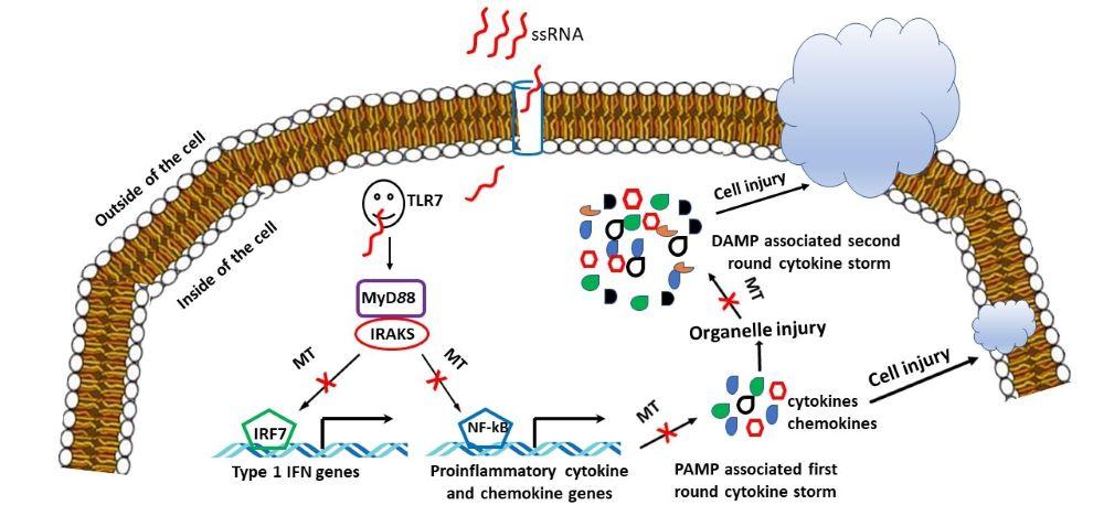 Vliv melatoninu na imunitní systém